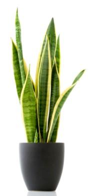 Zimmerpflanzen retten leben wie ein indischer gesch ftsmann saubere luft wachsen l sst kopp - Hanf zimmerpflanze ...